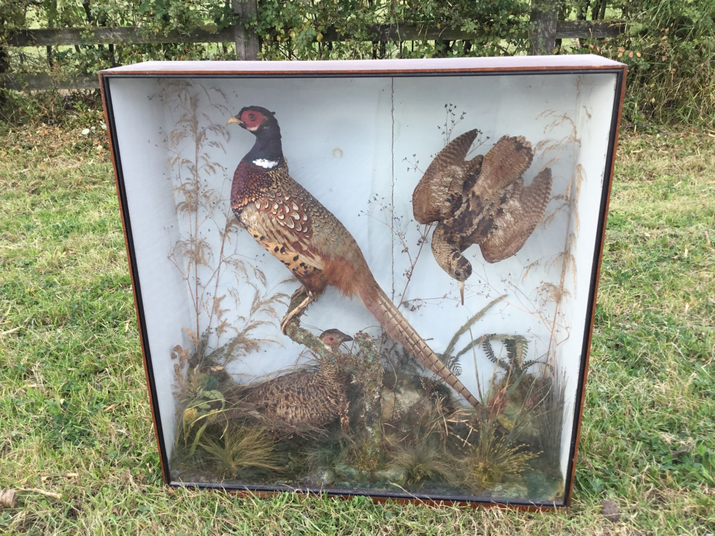 victorian cased taxidermy