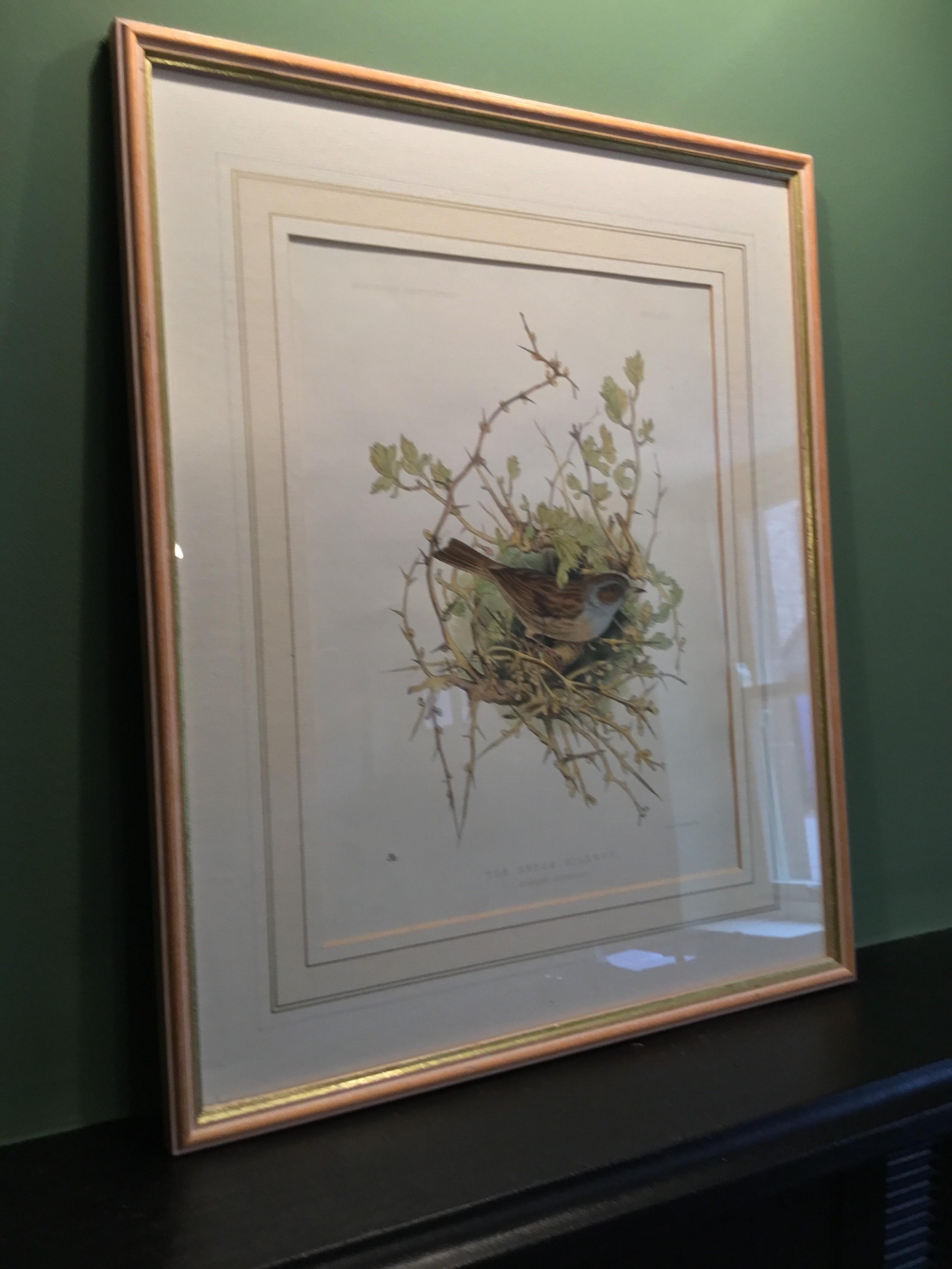 a fine 19th century handcoloured print of a hedge sparrow by jemima blackburn