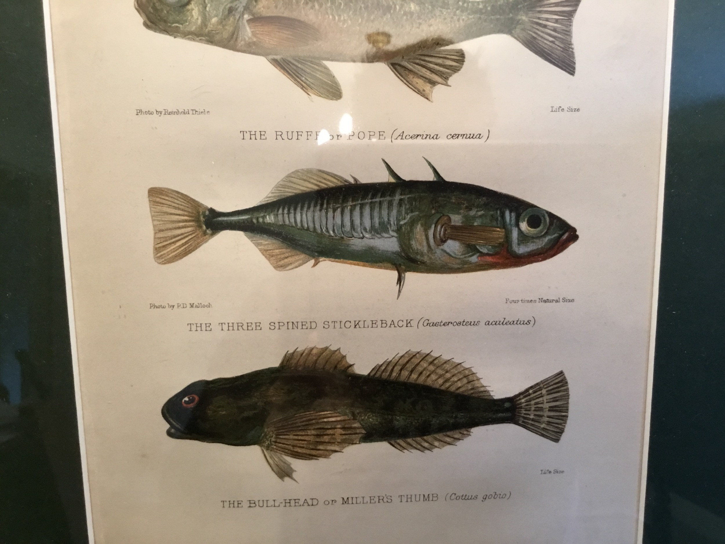 Three Freshwater Fish An Original Lithographic Print 1904 606937 Sellingantiques Co Uk