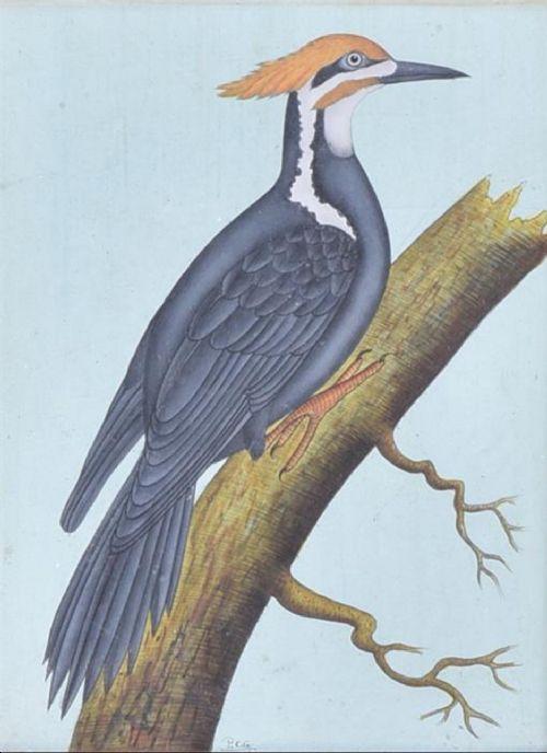 a gouache study of great woodpecker