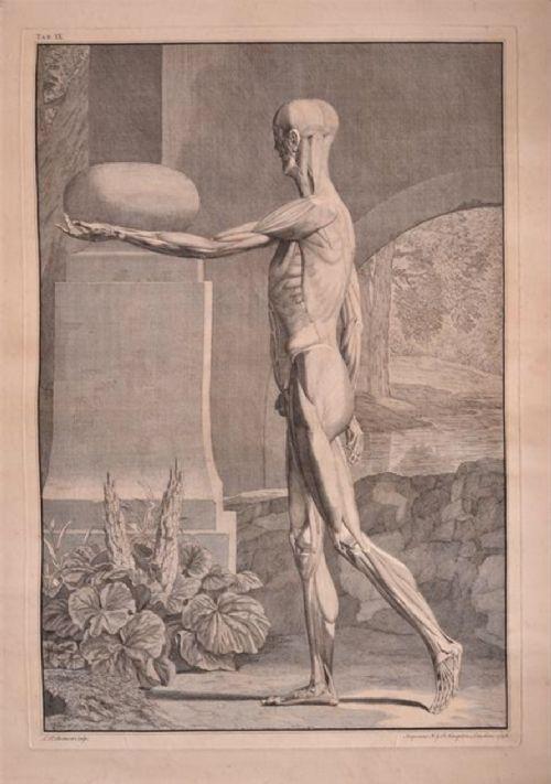 c18th single leaf anatomical print from abinus bernhard siegfried c1748