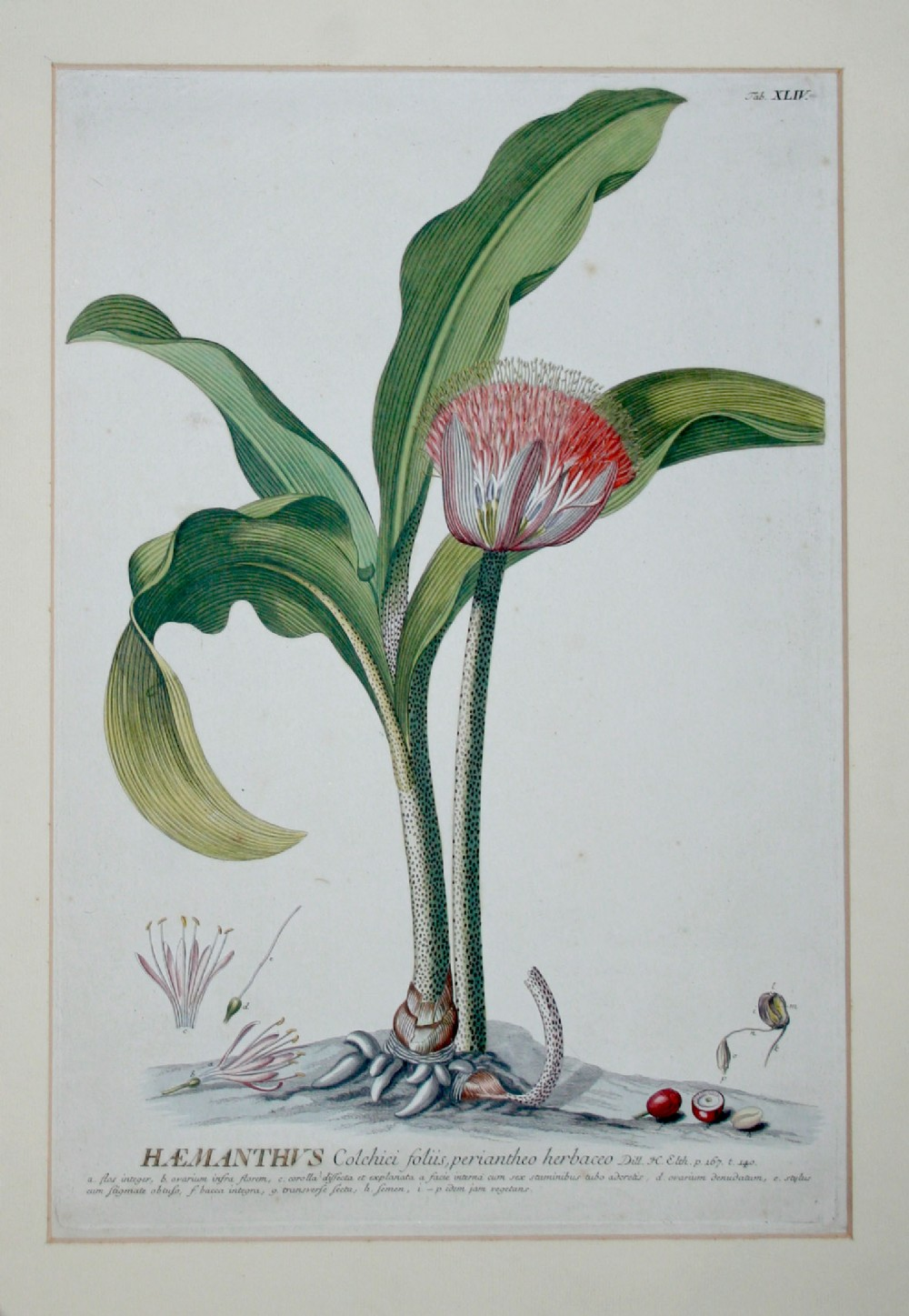 after george dionysius ehert 17081770 hand coloured engraving haemanthus colchici foliis from plantae selectae plate xliv
