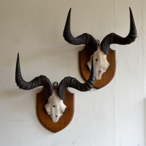 a pair of edwardian hartebeest horns