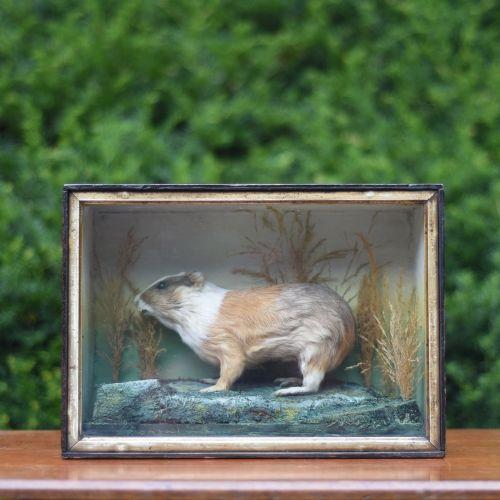 taxidermy a stuffed guinea pig