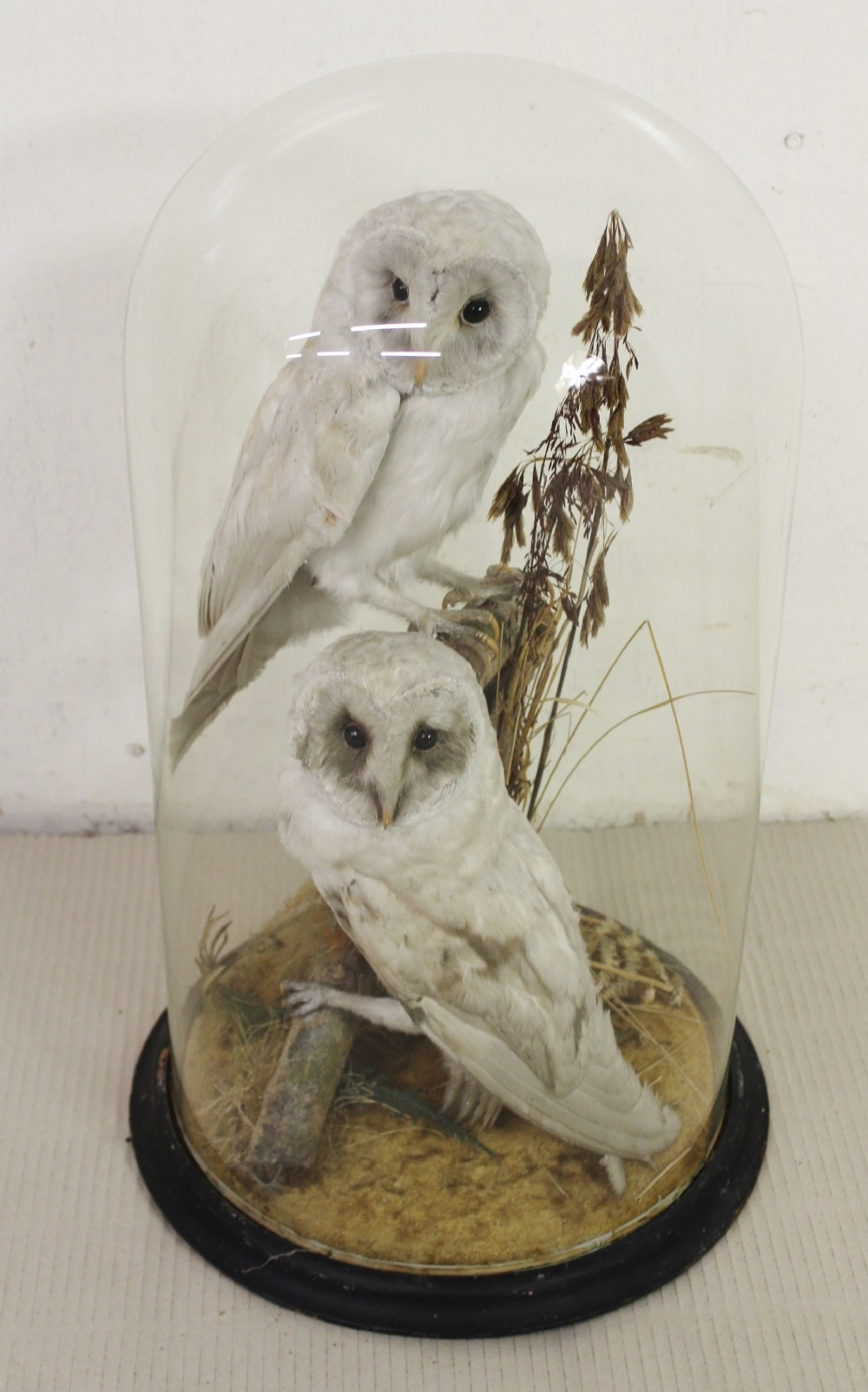 taxidermy a pair of cased owls