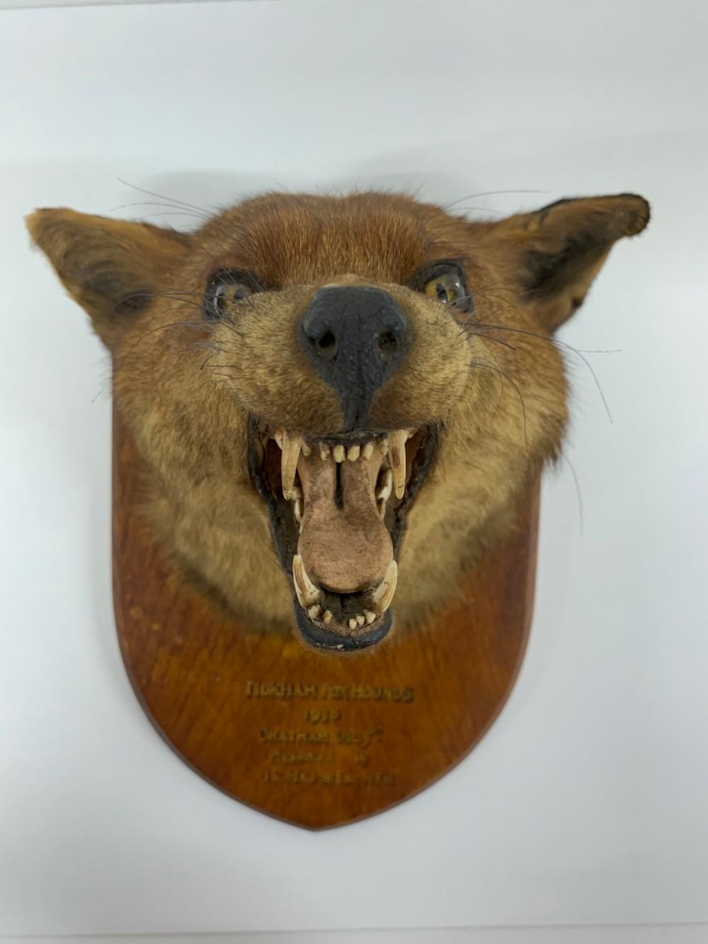 taxidermy red fox mask vulpes vulpes head stuffed male antique c1938 tickham