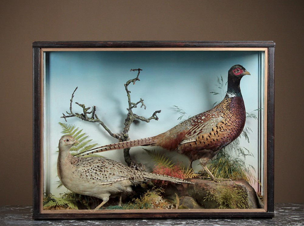 cased taxidermy display of a pair of pheasants c1900