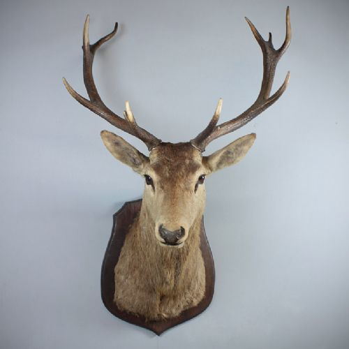 Taxidermied Royal Stag S Head 254433 Sellingantiques