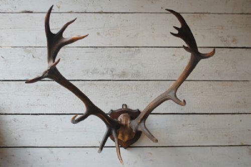 antique red deer antlers 16 pointer 1890