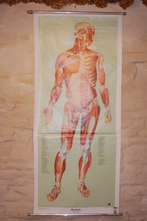 vintage biology school chart muscular system human male 1960