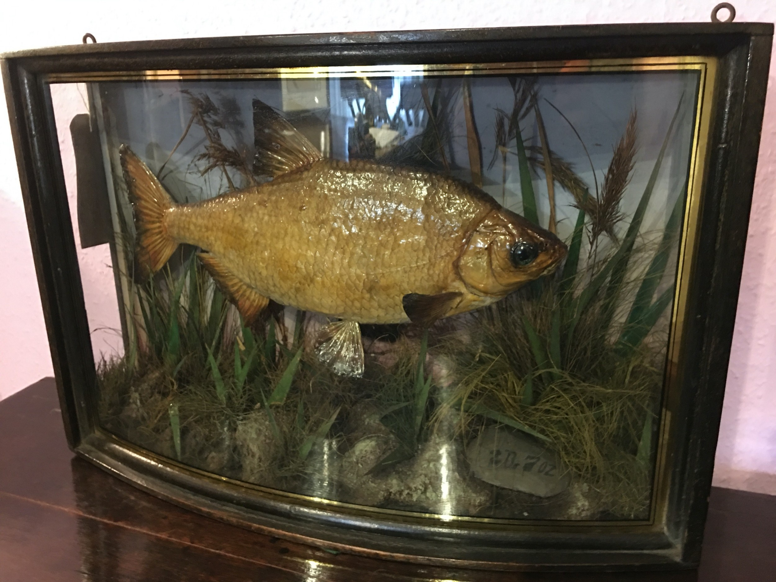 taxidermy common bream in display case