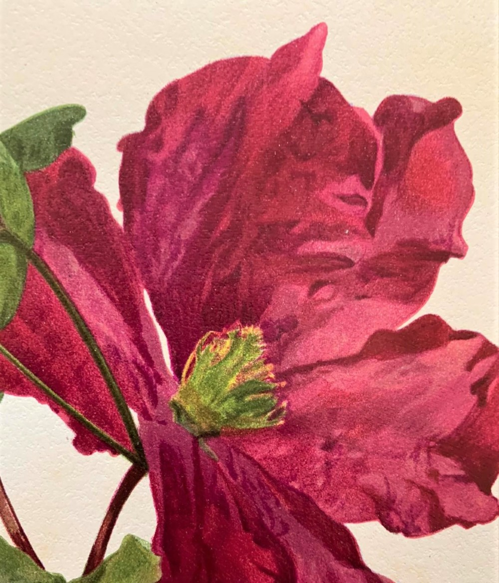 sublime claret clematis chromolithograph henry g moon 1903