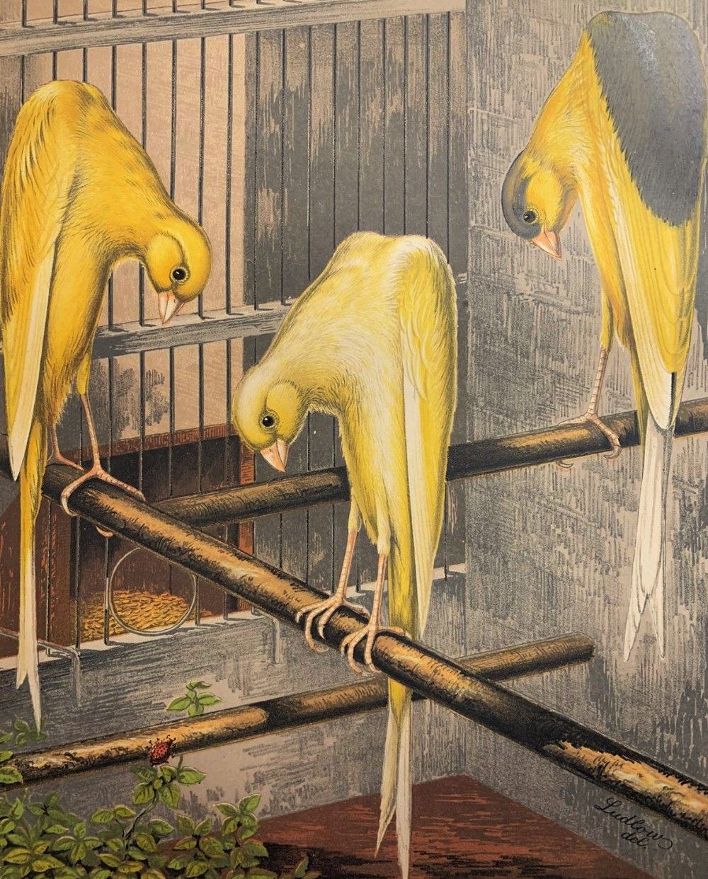 surreal 'bowing canaries' chromolithograph cassell 1880