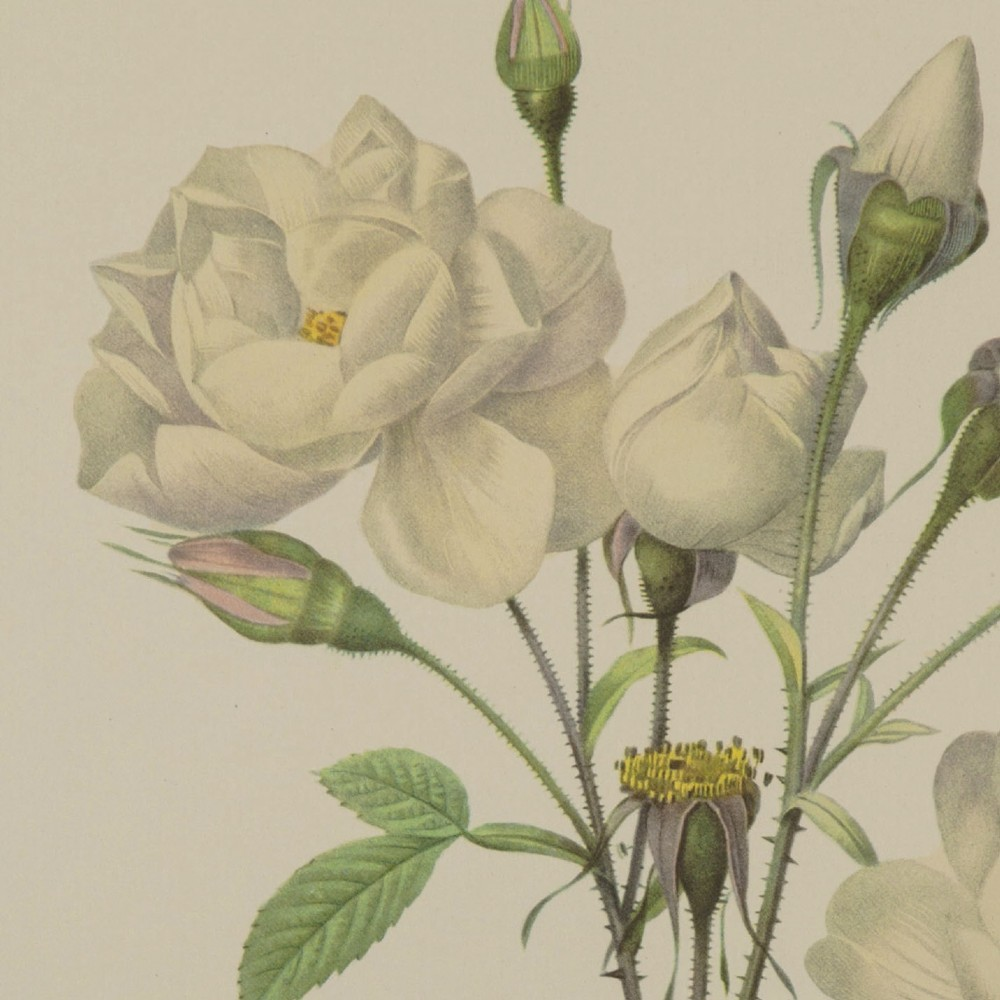 rosier campanule a fleurs blanches' lithograph pierre joseph redoute 1954