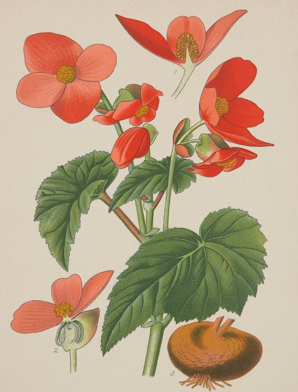 vibrant tuberous begonia chromolithograph edward step 1896