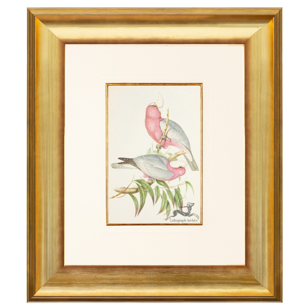 rosebreasted cockatoo lithograph after gould 1948