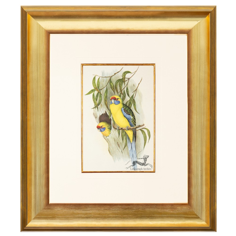 yellow bellied parakeet after gould lithograph 1948