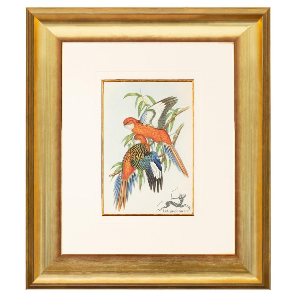 fiery parakeet after gould lithograph 1948