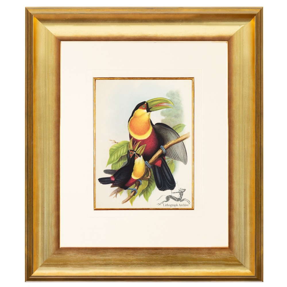red breasted toucan after gould lithograph 1948