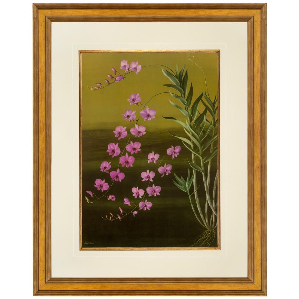 cooktown orchid large format fine art lithograph paul jones 1959