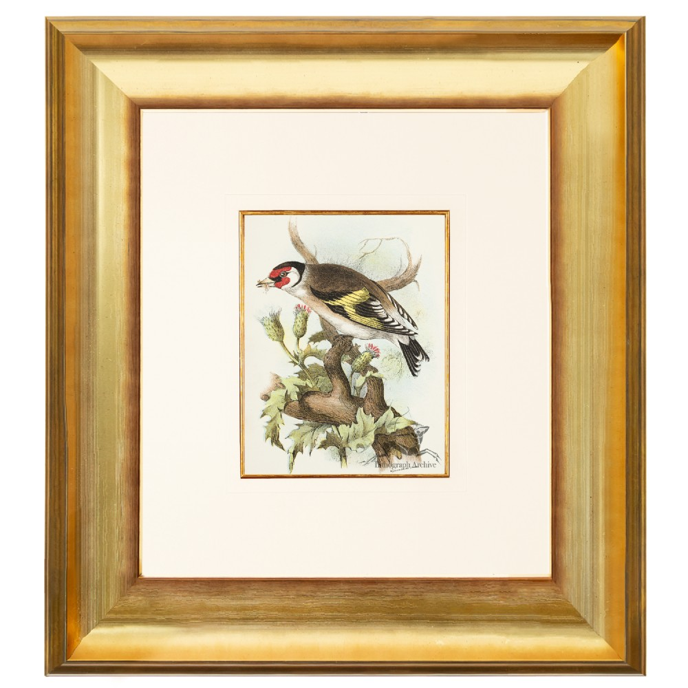 goldfinch birds of great britain chromolithograph 1896