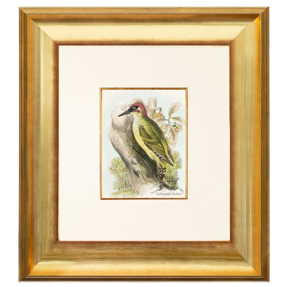 green woodpecker birds of great britain chromolithograph 1896