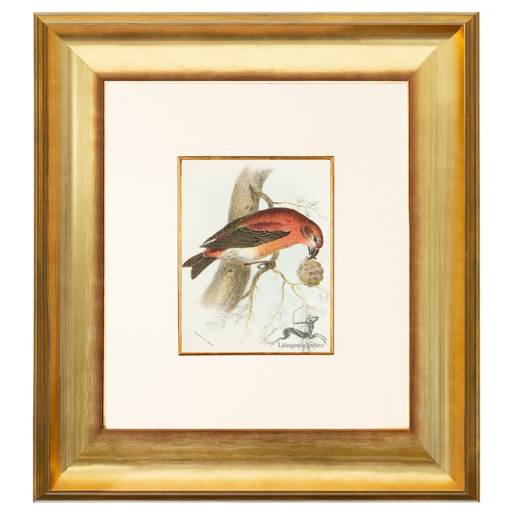 crossbill birds of great britain chromolithograph 1896