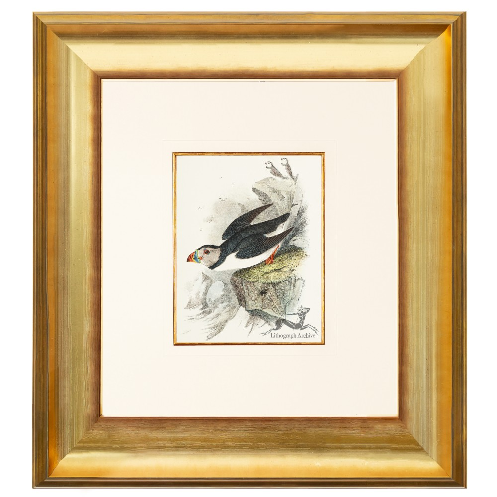 puffin birds of great britain chromolithograph 1896