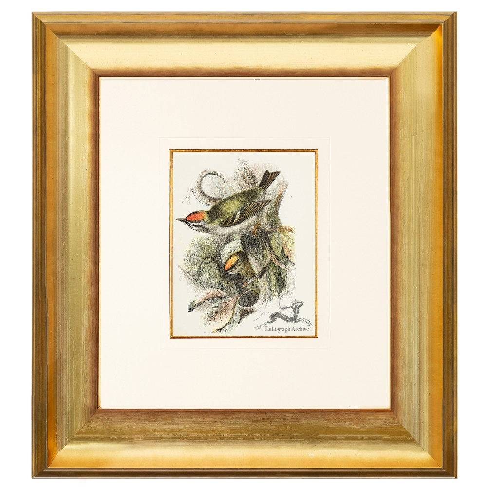 goldcrest and firecrest birds of great britain chromolithograph 1896