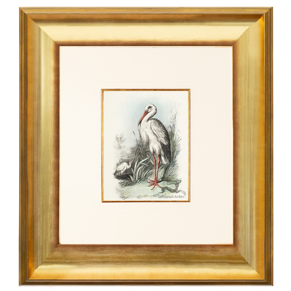 storks birds of great britain chromolithograph 1896