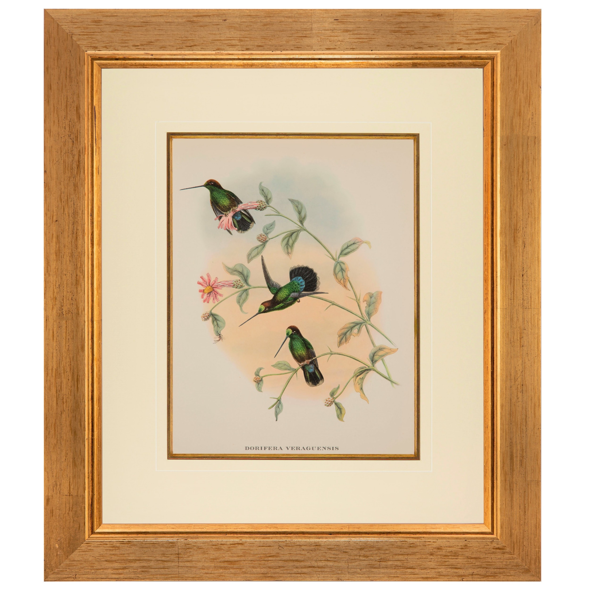 veraguan mango hummingbird chromolithograph gould 1955