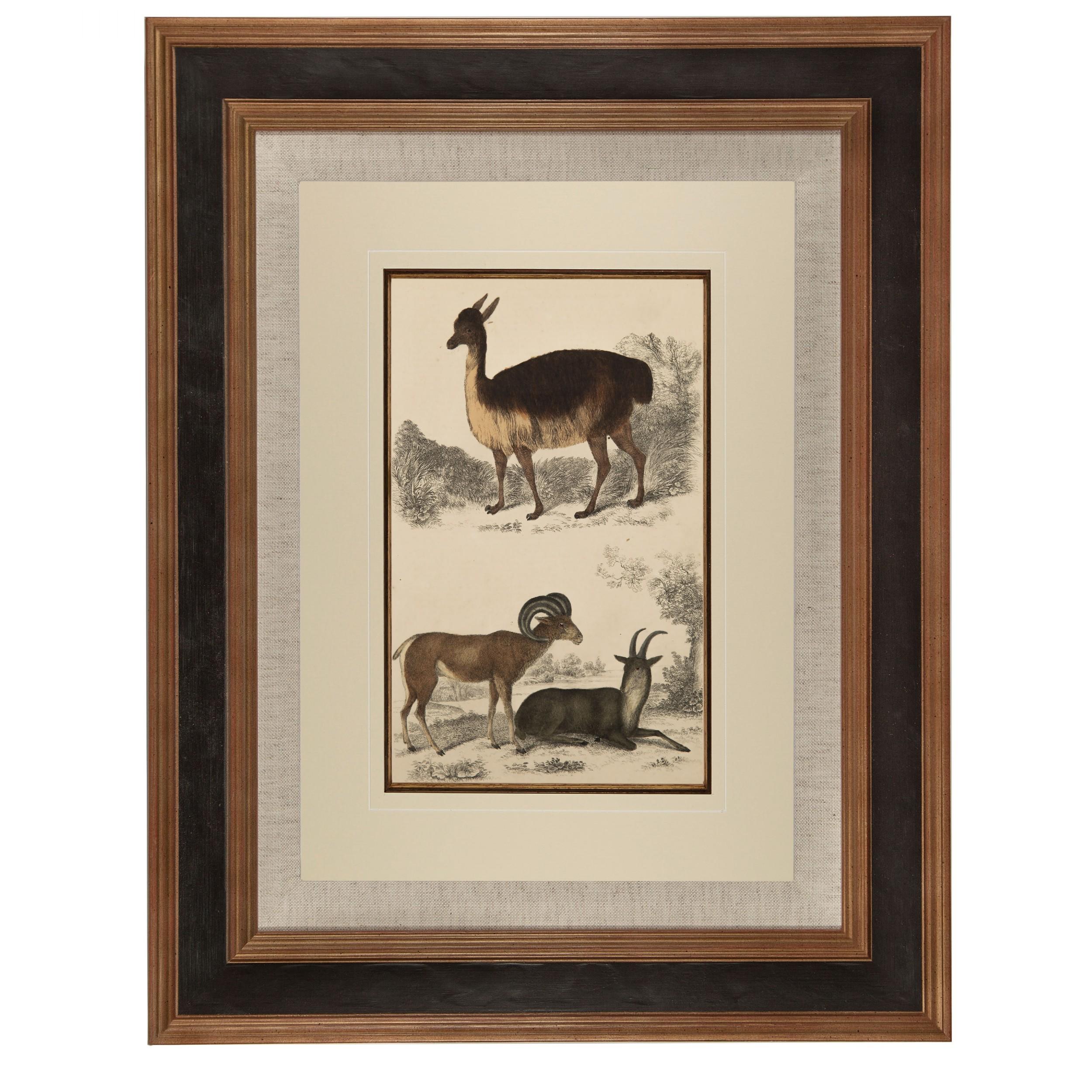 very beautiful 'llama' lithograph goldsmith 1875