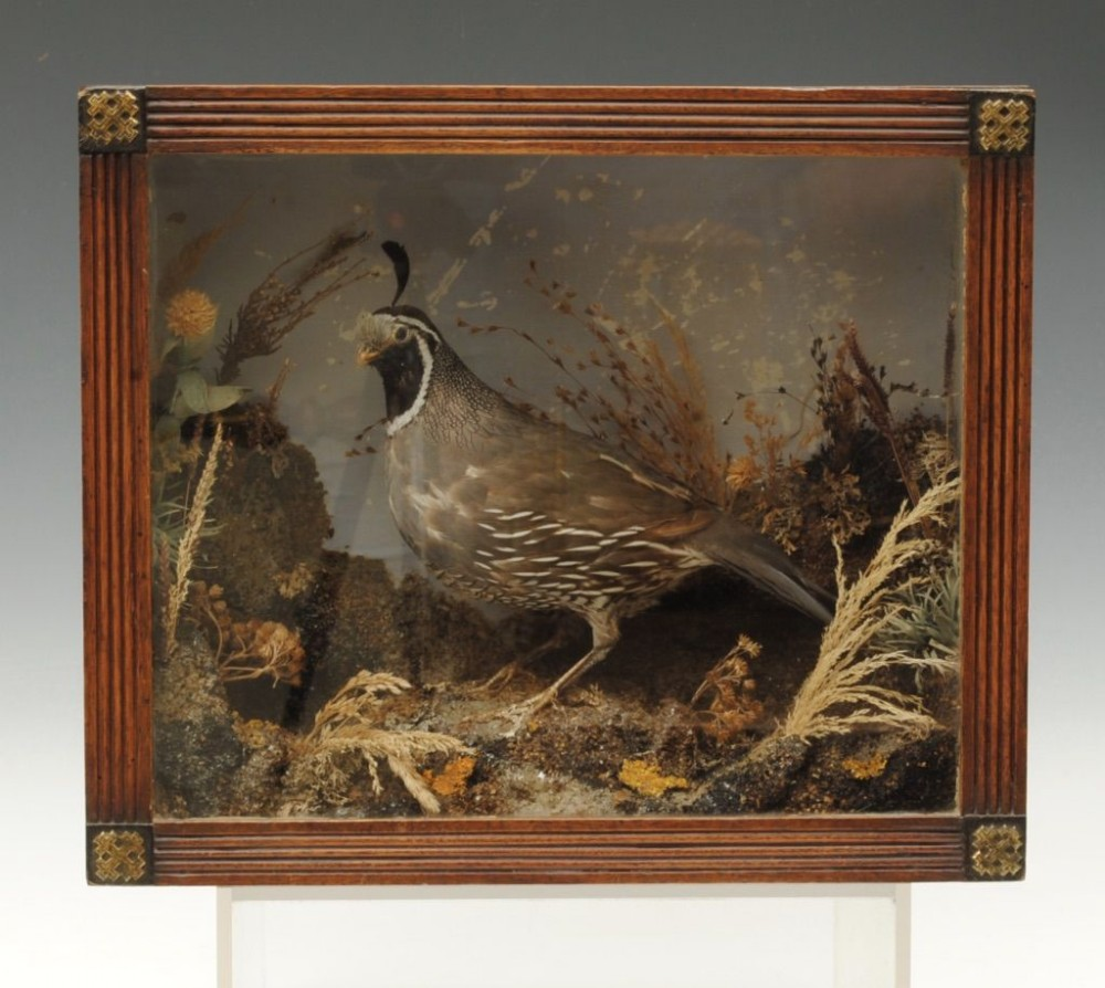 taxidermy american tufted partridge