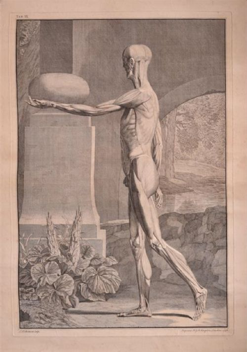 c18th single leaf anatomical print from abinus bernhard siegfried c1748