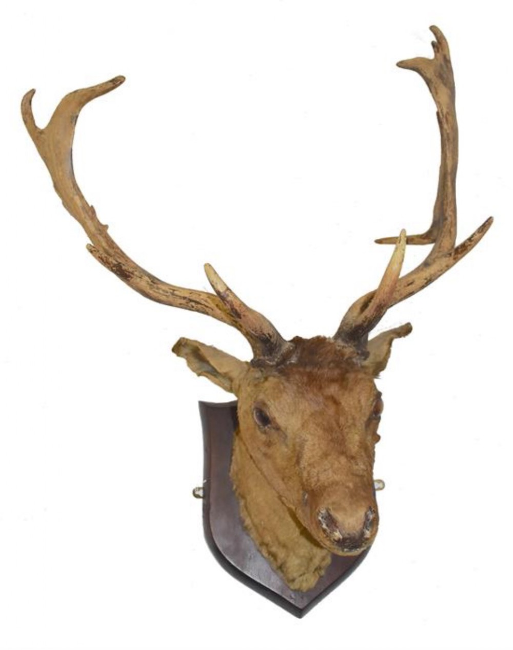 c19th mounted red deer taxidermy head and antlers