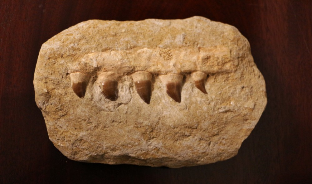 fossil dinosaur teeth