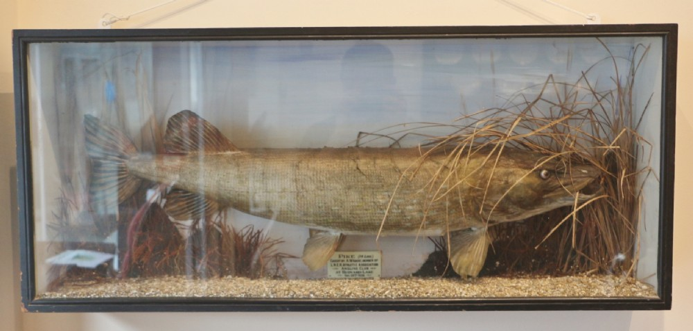 1930s taxidermy trophy 14lbs pike in case