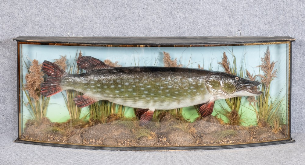 large bow fronted stuffed pike taxidermy