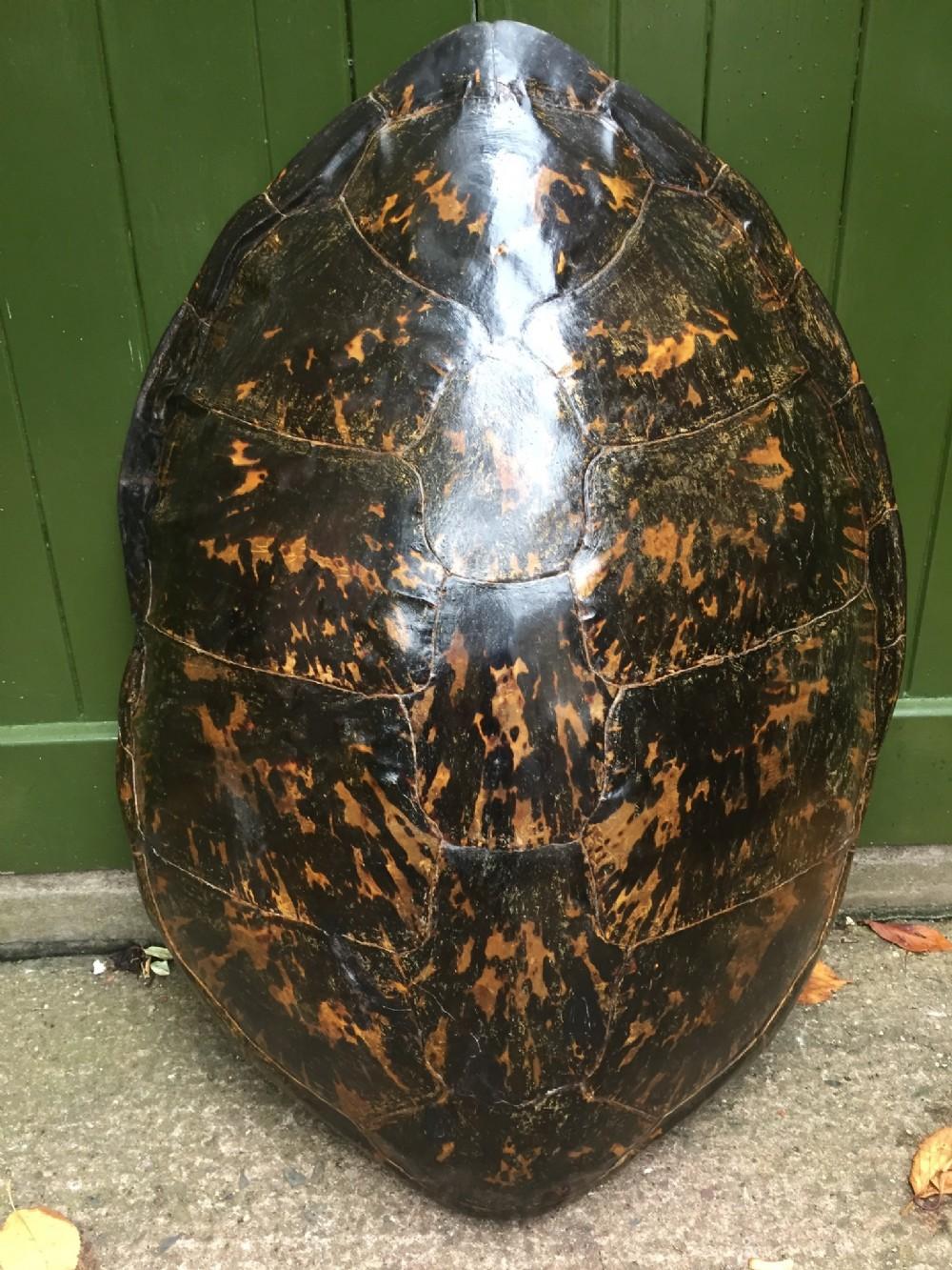 large late c19th carapace shell of a loggerhead sea turtle caretta caretta