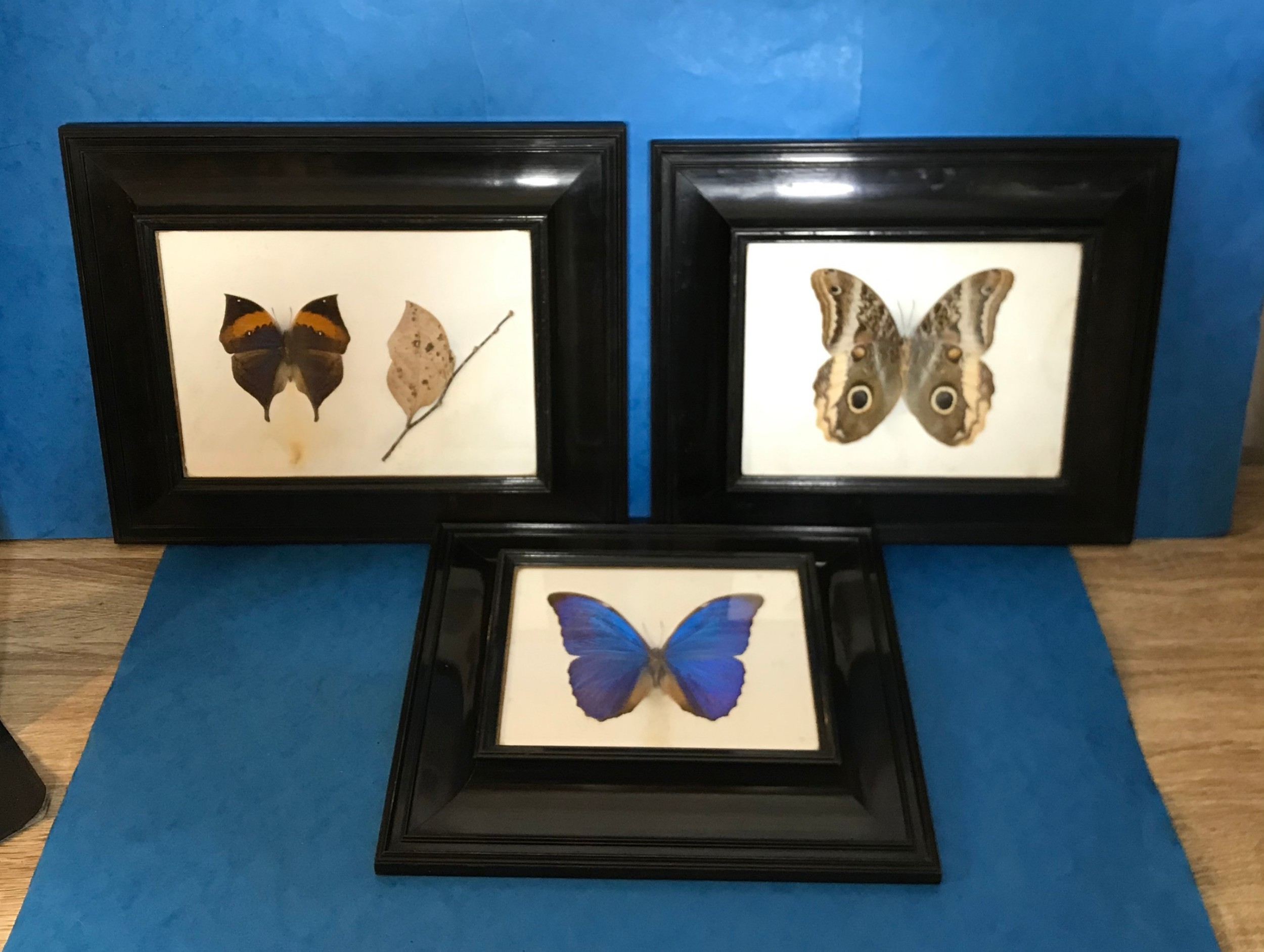 a collection of three victorian taxidermy butterflies