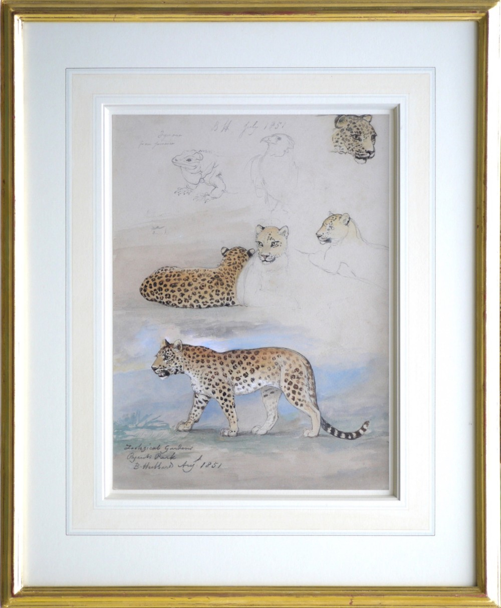 watercolour dated 1851 by bennett hubbard study of a jaguar at london zoo