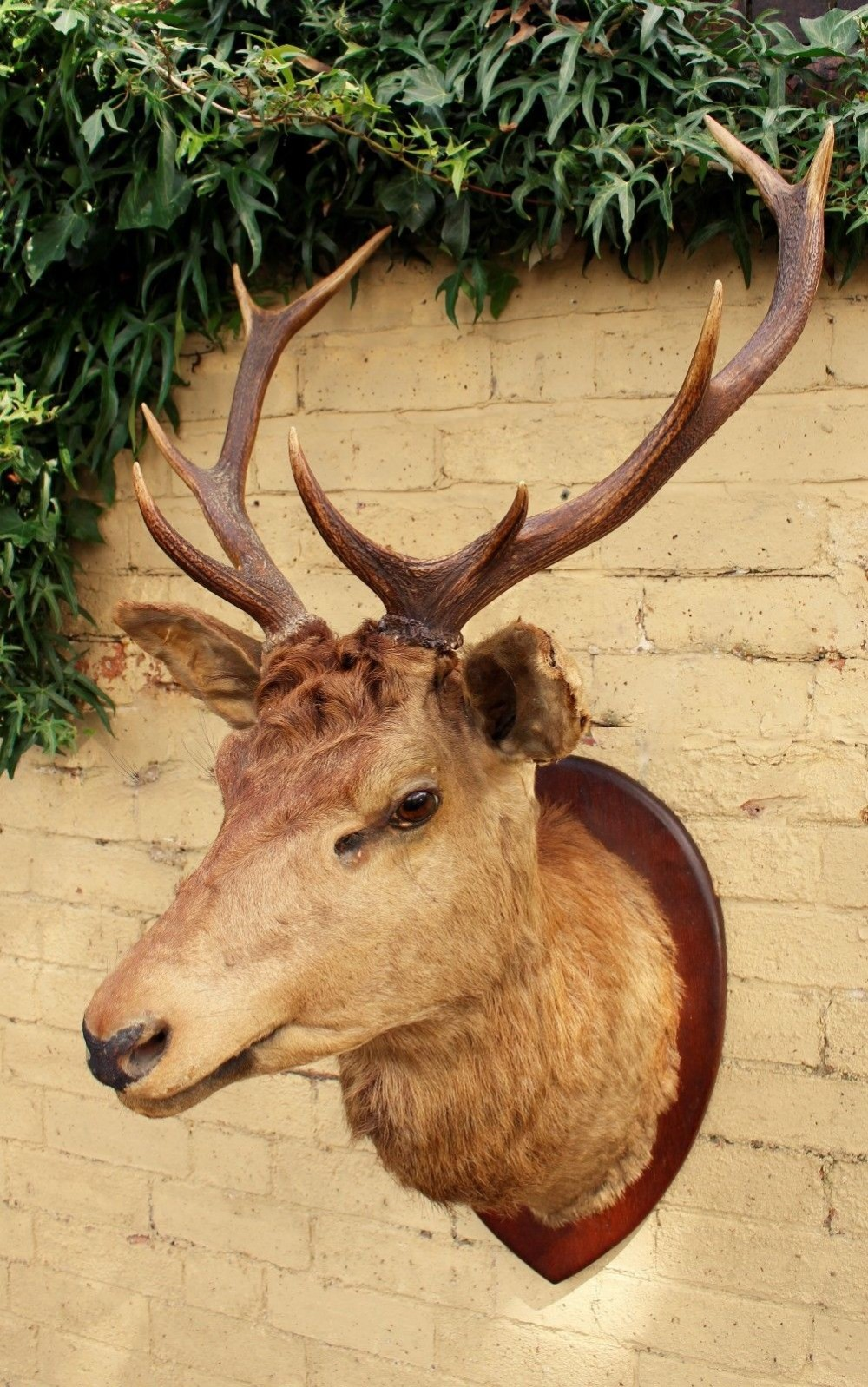good victorian stags head taxidermy