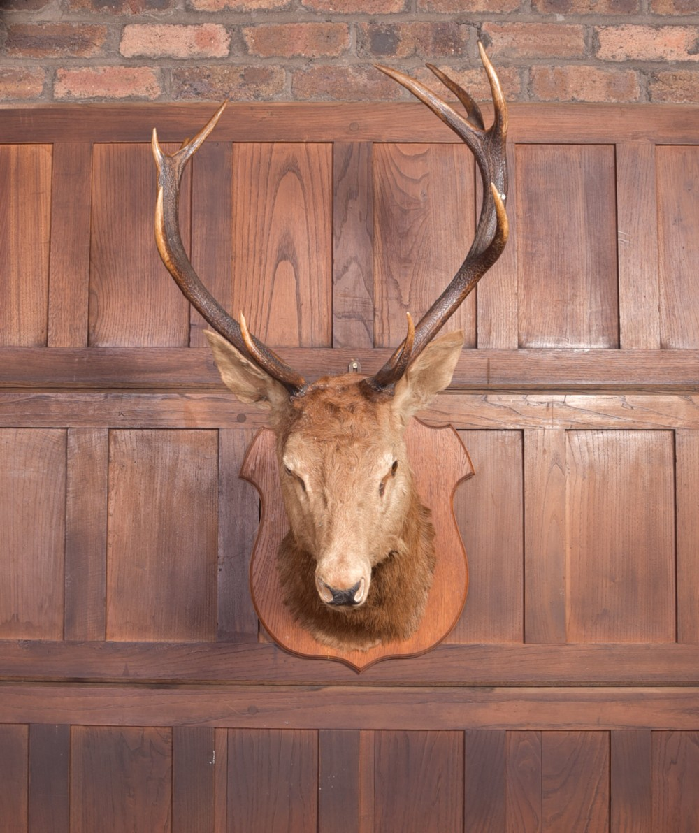 edwardian taxidermy mounted stags head