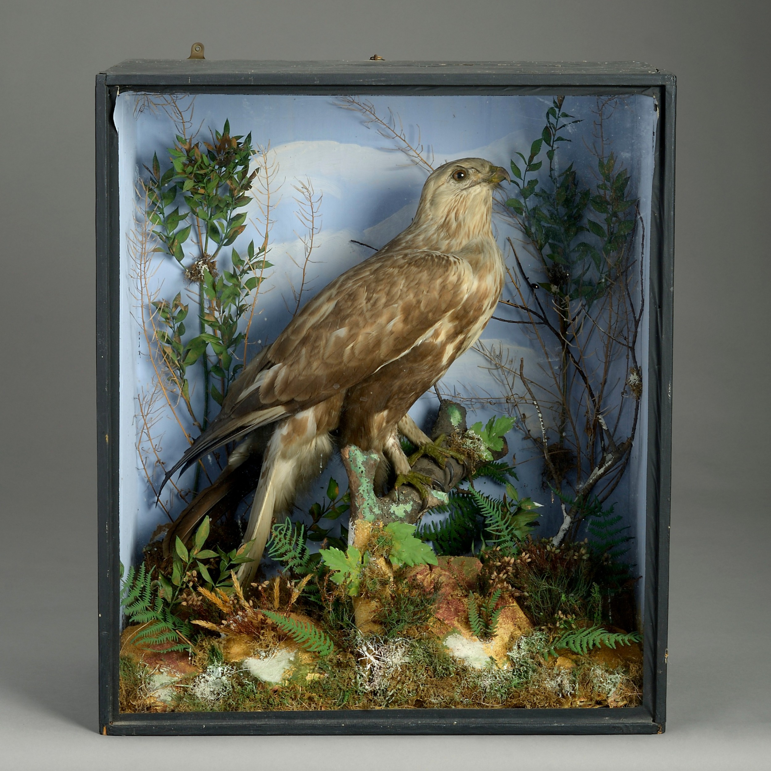 taxidermy buzzard in display case